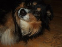 "A Picture of our adorable Aussie ""Kassie"""