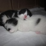 Another Picture of the kittens at 1 week old-Napping together