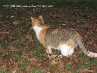 Pumpkin the feral cat
