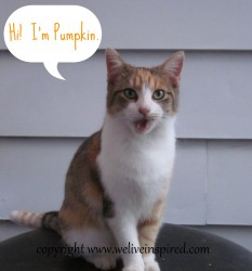 Meet Pumpkin-Feral Cat of the Week