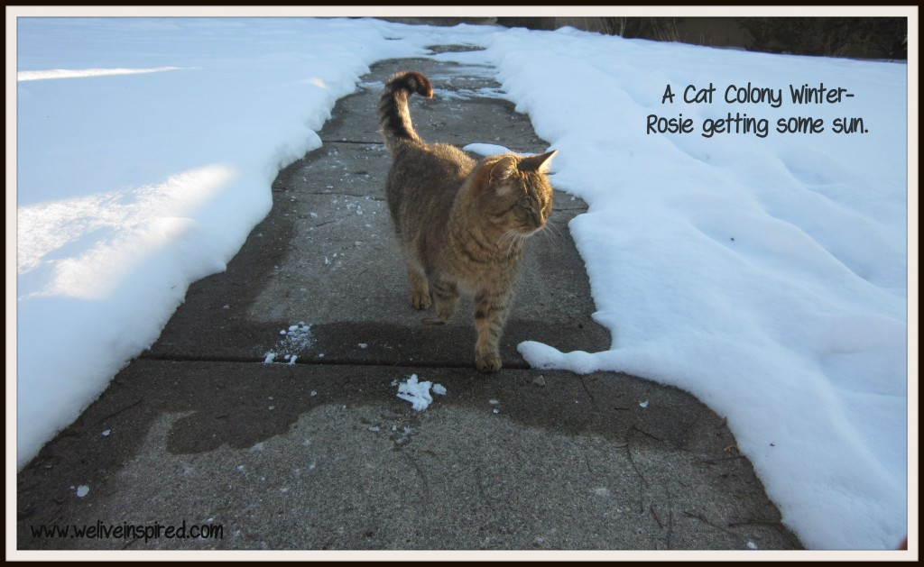 Colony Cats in Winter