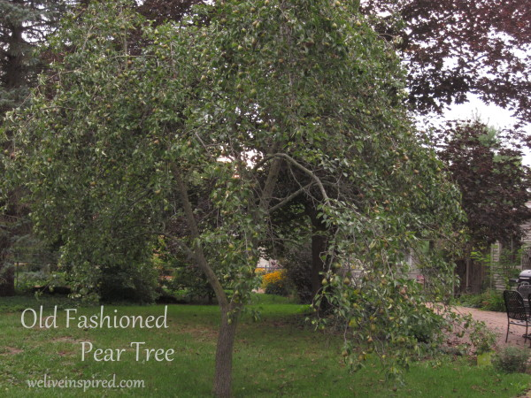 old fashioned pear tree