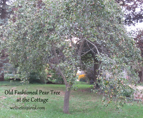pear tree in our cottage garden